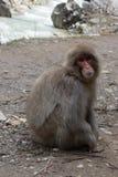 Schnee-Affe auf der Bahn, die nach links schaut Lizenzfreie Stockfotos