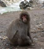 Schnee-Affe auf der Bahn, die recht schaut Stockfotos