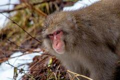 Schnee-Affe auf einem Bergabhang Lizenzfreie Stockfotos