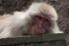 Schnee-Affe auf hölzerner Planke Lizenzfreies Stockbild