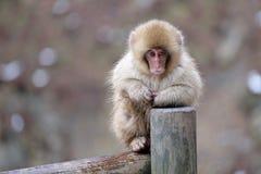 Schnee-Affe auf Zaun Lizenzfreie Stockbilder