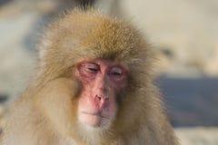 Schnee-Affe-Ausdrücke: Weg treiben, Profil Lizenzfreies Stockbild