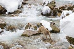 Schnee-Affe, der über Wasser springt Stockbilder