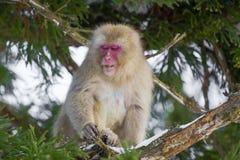 Schnee-Affe, der auf Blättern im Baum abnagt Lizenzfreie Stockfotografie