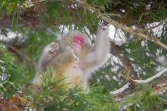 Schnee-Affe, der Hals-Baum verkratzt Lizenzfreies Stockbild