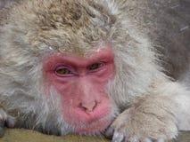 Schnee-Affe in der heißen Quelle Japan Stockbild