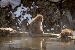 Schnee-Affe, der an der heißen Quelle sitzt Lizenzfreie Stockfotografie
