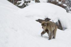 Schnee-Affe, der mit Baby darunterliegend herumsucht Lizenzfreies Stockbild