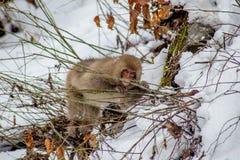 Schnee-Affe, der Niederlassungen im Winter isst Lizenzfreie Stockbilder
