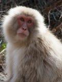 Schnee-Affe, der oben schaut Stockbilder