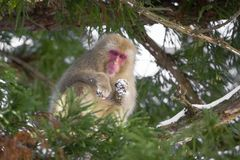 Schnee-Affe, der unten vom Baum schaut Lizenzfreies Stockbild
