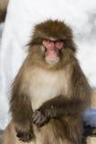Schnee-Affe-Gefühle und Ausdrücke: Ernst Lizenzfreie Stockfotos