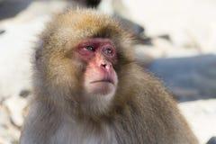 Schnee-Affe-Gefühle und Ausdrücke: Interesse Lizenzfreies Stockfoto