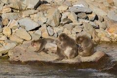Schnee-Affe-Haar und Bräutigam Lizenzfreie Stockfotos