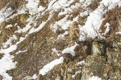 Schnee-Affe heraus auf einer Niederlassung, einen Zweig saugend Lizenzfreie Stockfotos