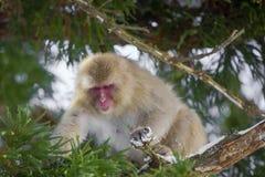 Schnee-Affe im Baum, der für Blätter erreicht Stockbilder