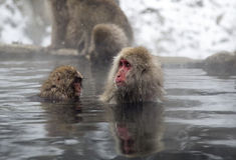 Schnee-Affe im Jigokudani-Affe-Park (Nagano) Lizenzfreies Stockfoto