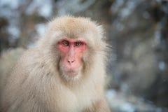 Schnee-Affe an Jigokudani-Park Lizenzfreies Stockbild