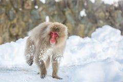 Schnee-Affe-Makaken Lizenzfreie Stockfotos