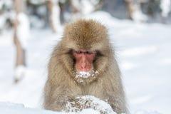 Schnee-Affe-Makaken Stockfoto