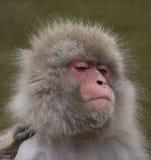 Schnee-Affe mit Wasser auf seinem Chin Lizenzfreies Stockfoto