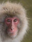 Schnee-Affe mit Wasser-Bratenfett von Chin Lizenzfreie Stockbilder