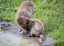 Schnee-Affe-Mutter und Kind Stockfotos