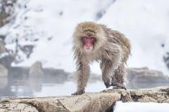 Schnee-Affe nach dem Baden in Onsen im Winter am Jigokudani-Affe-Park, Nagano, Japan Lizenzfreies Stockfoto