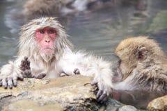 Schnee-Affe am Rand des Pools Onsen der heißen Quelle bei Jigoku Lizenzfreies Stockbild