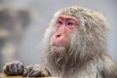 Schnee-Affe am Rand des Pools Onsen der heißen Quelle bei Jigoku Lizenzfreie Stockfotos