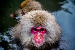 Schnee-Affe schließen weniger oben Stockfotos