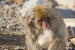 Schnee-Affe Scraching-Kopf oder Denken Stockfoto