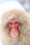 Schnee-Affen im Jigokudani-Affe-Park, Nagano Lizenzfreie Stockfotos