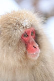 Schnee-Affen im Jigokudani-Affe-Park, Nagano Stockfotografie
