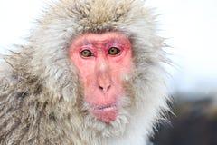 Schnee-Affen im Jigokudani-Affe-Park, Nagano Lizenzfreie Stockbilder