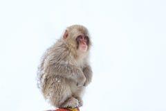 Schnee-Affen im Jigokudani-Affe-Park, Nagano Stockbilder