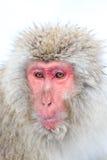 Schnee-Affen im Jigokudani-Affe-Park, Nagano Lizenzfreies Stockbild
