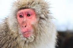 Schnee-Affen im Jigokudani-Affe-Park, Nagano Stockfotos