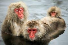 Schnee albert, der Makaken herum, der in der heißen Quelle, Präfektur Nagano, Japan badet Lizenzfreie Stockfotos