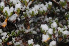 Schnee auf Azalee Stockfotografie