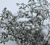 Schnee auf Bush Lizenzfreies Stockbild