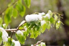 Schnee auf dem blühenden Baum im Frühjahr Stockfotos