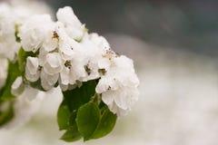 Schnee auf dem blühenden Baum im Frühjahr Stockfotografie