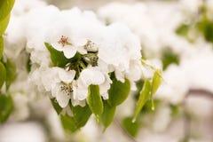 Schnee auf dem blühenden Baum im Frühjahr Stockbilder