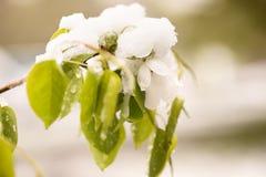 Schnee auf dem blühenden Baum im Frühjahr Stockfoto