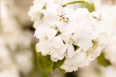 Schnee auf dem blühenden Baum im Frühjahr Lizenzfreie Stockbilder