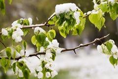 Schnee auf dem blühenden Baum im Frühjahr Stockbild