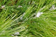Schnee auf dem Brunch. Stockfotos