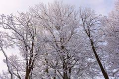 Schnee auf den Baumasten Winter-Ansicht von den Bäumen bedeckt mit Schnee Die Schwere der Niederlassungen unter dem Schnee Stockfoto
