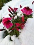 Schnee auf den Blumen stockbild